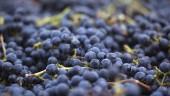 vista previa del artículo Vive la fiesta de La Vendimia en La Rioja